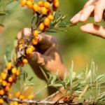 Wilde Kräuterküche - Nahrung aus der Natur und Kochen am Feuer