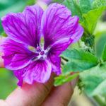 Kräuterwanderung Essbare Wildpflanzen im Jahresverlauf
