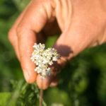 Kräuterwanderung Heilpflanzen