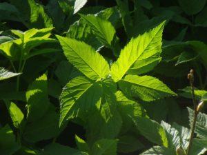 Juchu, die ersten Wildpflanzen sind da- ein Genuss!